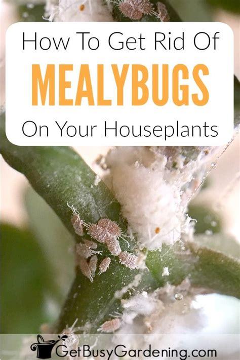 rid  mealybugs   houseplants  good
