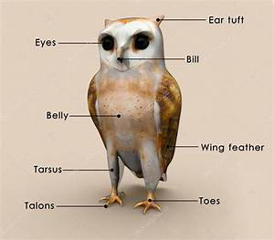 Owl Bird Anatomy Diagram  U2014 Stock Photo  U00a9 Sciencepics  72990975