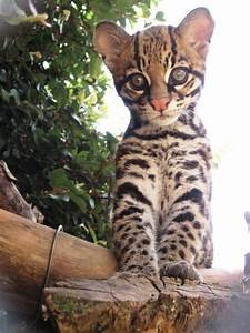 ocelot births help conservation and research
