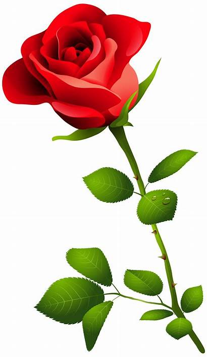 Rose Clip Transparent Flower Clipart Pink Stem