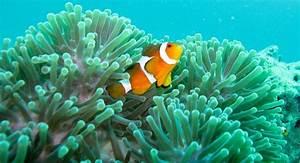 Where Do Clownfish Live Referencecom