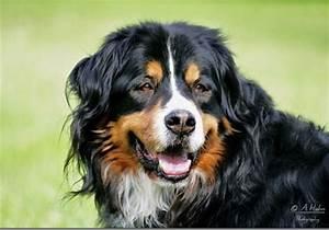 Berner Sennenhund Gewicht : hunderassen berner sennenhund d rrb chler bouvier bernois bernese mountain dog perro ~ Markanthonyermac.com Haus und Dekorationen