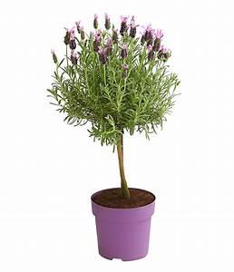 Schopf Lavendel Tee : schopf lavendel st mmchen dehner ~ Michelbontemps.com Haus und Dekorationen