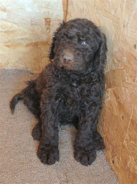newfypoo puppies newfoundland poodle mix call