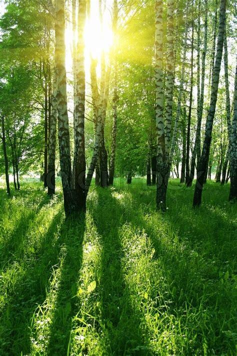 birken mit langen schatten im sommer wald stockfoto