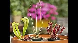 Pflanzen Zu Hause : fleischfressende pflanzen zu hause z chten was zu beachten ist youtube ~ Markanthonyermac.com Haus und Dekorationen