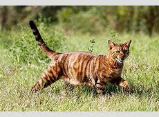 Mittelgroße Katzenrassen – Die goldene Mitte!