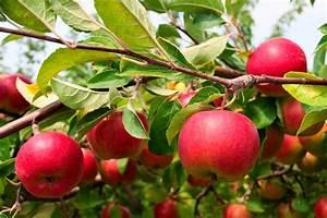 How To Grow An Apple Tree
