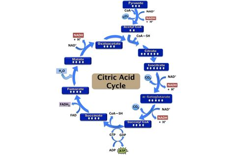 krebs cycle citric acid cycle tca cycle definition