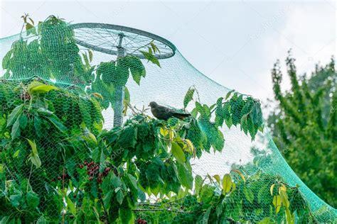 arbres fruitiers qui poussent dans le filet de protection