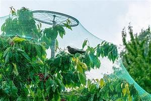 Filet Pour Arbre Fruitier : arbres fruitiers qui poussent dans le filet de protection pour oiseaux photographie eplisterra ~ Melissatoandfro.com Idées de Décoration