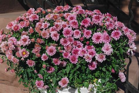 Hardy Chrysanthemums (Garden Mums): Plant Care & Growing Guide