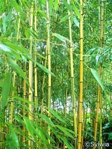 Bambus Pflanzen Kübel : spectabilis bambus phyllostachys aureosulcata spectabilis 39 pflanzen enzyklop die ~ Frokenaadalensverden.com Haus und Dekorationen