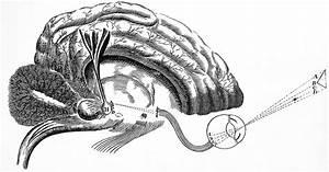 File Descartes  The Nervous System  Diagram Of The Brain