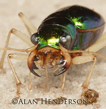 tiger beetles  fastest   legs