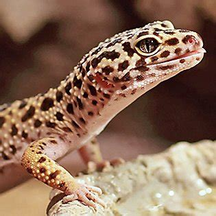 leopard gecko supplies tank accessories petsmart