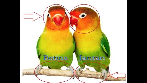 Suara burung flamboyan jantan dan betina mp3 & mp4. Cara Membedakan Lovebird Jantan dan Betina - 10 Perbedaan ...