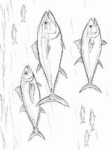 Tuna Coloring Pages Fish Printable Recommended sketch template