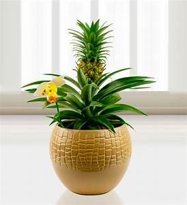 Plant D Ananas : pineapple plant plants free chocolates prestige flowers ~ Melissatoandfro.com Idées de Décoration