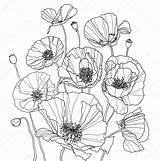 Poppies Coloring Drawing Botanical Drawings Flowers Poppy Line Flower Pages Illustration Depositphotos Draw Outline Raster Colouring Sketches Pattern 123rf Doodle sketch template