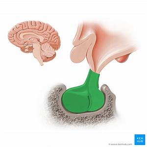 Diencephalon  Anatomy And Function