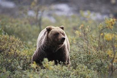 Bear Grizzly Attack Attacks Mauled Nationalgeographic Wasn