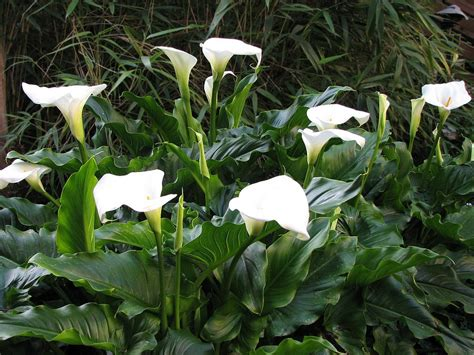 how to plant lillies learn how to grow and care for calla lily flowers