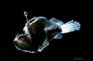 Deep sea fish - microbewiki