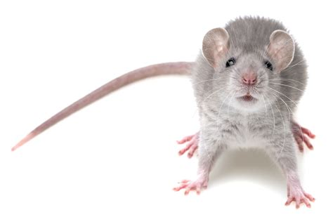 pictures of mice opinions on mouse