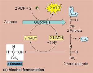Chemistry  Fermentation In Beer  Reaction Schemes    Homeworkhelp
