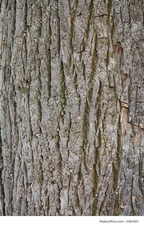 photo  chestnut tree bark