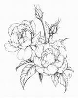 Coloring Drawing Drawings Tattoo Peony Botanical Blumen Flowers Rose Tattoos Floral Shading Vorlagen Sketches Ink Roses Awesome Zeichnen Luxury Sketch sketch template