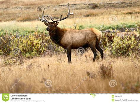 bull elk  rocky mountain national park stock image
