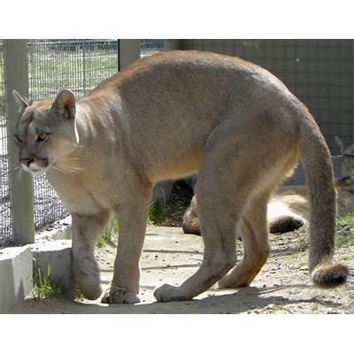 File:Puma concolor puma 2.JPG - Wikimedia Commons