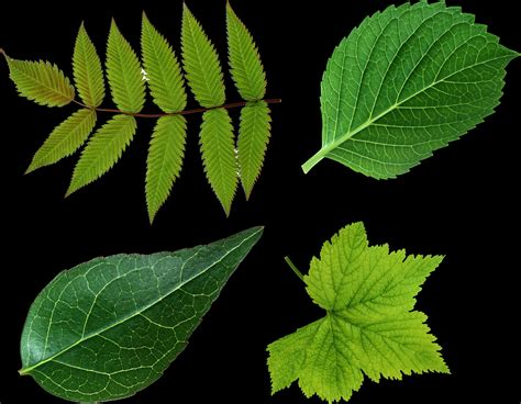 The meaning and symbolism of the word - «Leaves»