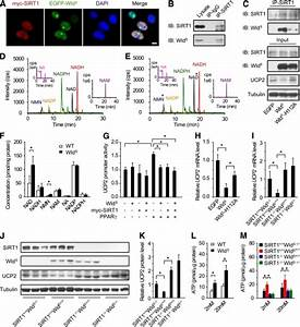 figure 7wlds enhances insulin transcription and secretion With stable 5v from old cells