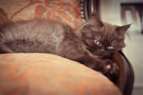 Cat Lying On Antique Armchair Photo