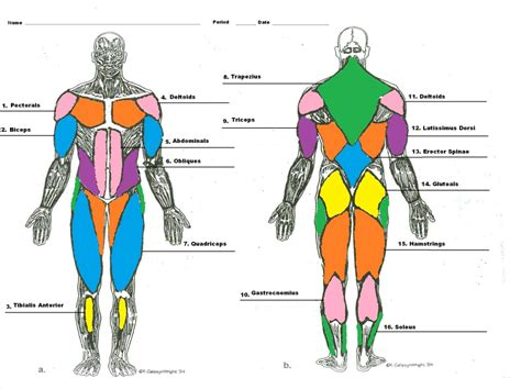 Muscle Man Diagram Labeling