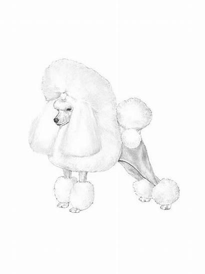 Poodle Found Fl Lost Pompano Bourbonnais Houston