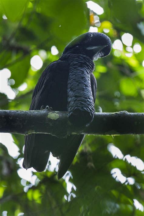 umbrellabird animals wiktionary long wattled ecuador dodo animal facts south
