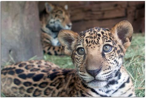 Baby Jaguar Information