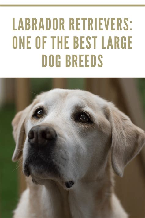 american labrador retriever puppies for sale