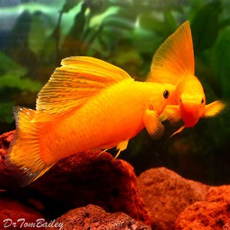 what color is molly best 25 molly fish ideas on tropical fish