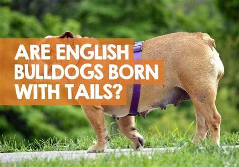 english bulldogs tails born bulldog docked they