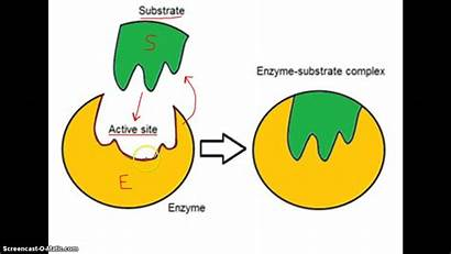Enzyme Structure