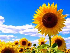 Bilder Blumen Kostenlos Downloaden : download bilder f r das handy pflanzen blumen sonnenblumen kostenlos 21849 ~ Frokenaadalensverden.com Haus und Dekorationen