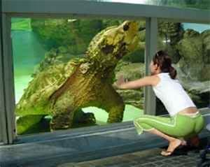 Snapping turtle, Worlds largest and Turtles on Pinterest