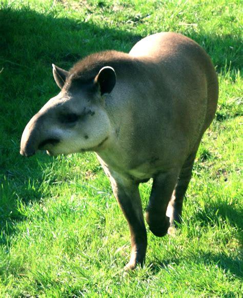odd toed ungulate ungulates animals tapir