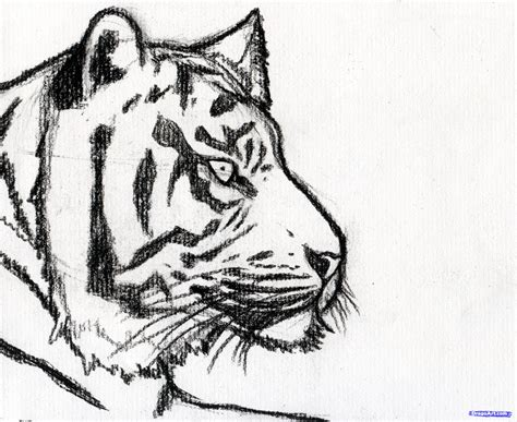 tiger drawing step  easy images pictures becuo image