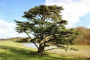 Growing the Cedar of Lebanon Tree